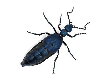 Black blue beetle or Oil beetle Meloe proscarabaeus isolated on white Archivio Fotografico