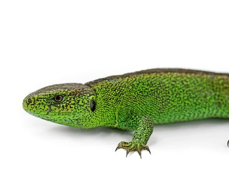 male european green sand lizard, Lacerta agilis, isolated on white background, close up