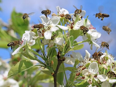 honey bees pollinating white blossoms of a pear tree with blue sky background, close up, macro shot of collecting bees. Archivio Fotografico
