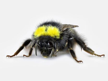 front view of black yellow bumblebee, macro studio shot, close up on white background.