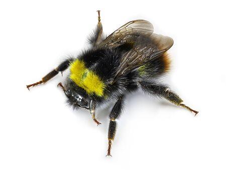 top view of black yellow bumblebee, macro studio shot, close up on white background. Archivio Fotografico