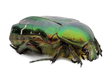 green rose chafer, cetonia aurata, beetle isolated on white background, detail macro shot, close up