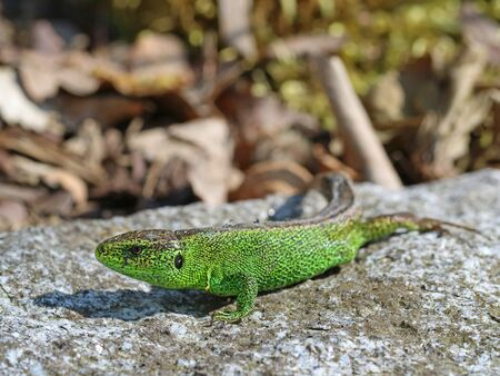 male european green sand lizard, Lacerta agilis, on stone, close up.