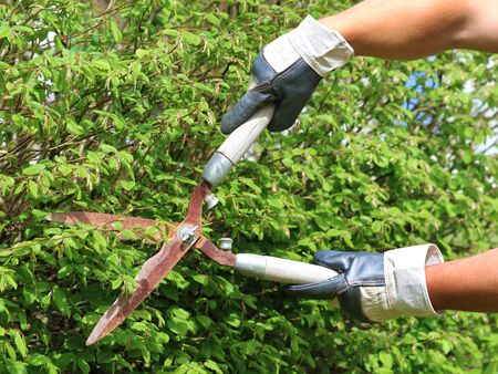 hand with gloves cuts the hedge with old rusty garden shears, trimming a hedge with garden scissors background with copy space