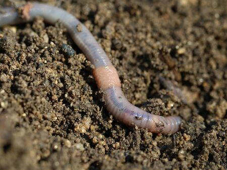 earthworm on soil with dry oak leaf, close up, macro shot background.