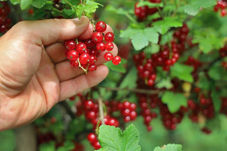 male hand picks fresh red currants from a bush in summer, collecting berries background