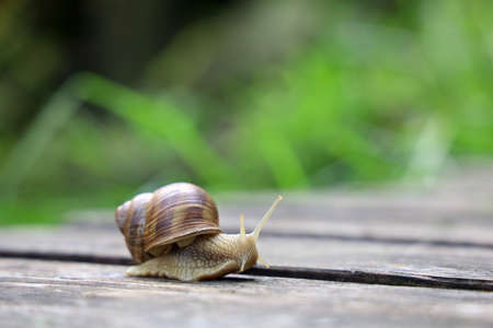 Helix pomatia, Roman snail, is crawling in garden after the rain, background with copy space