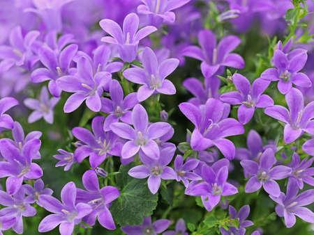 purple spring flower dalmatian bellflower, Campanula portenschlagiana, close up background