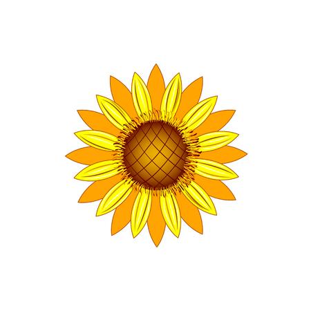 Sunflower or Helianthus isolated on white background.