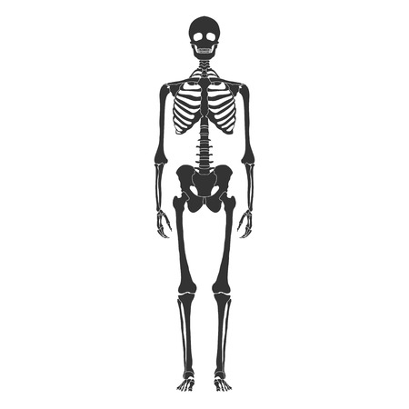 vector skeleton 3d realistic polygonal structure anatomy Illustration