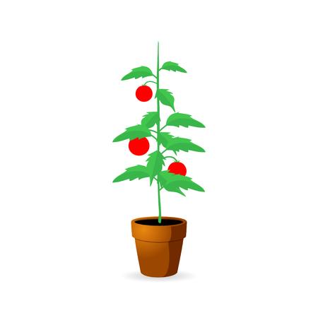Bush tomato on white background - vector illustration.