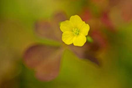 oxalis: oxalis-flower