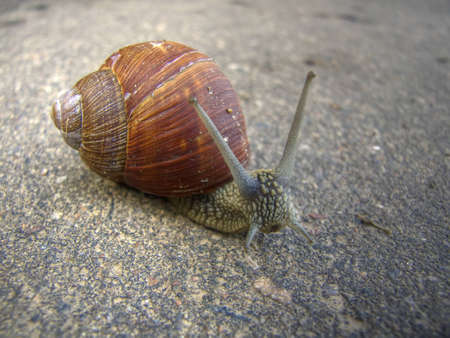 grape snail: Grape snail on asphalt