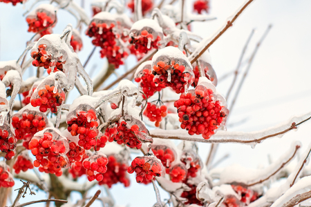 Frozen viburnum berries on the branches in ice