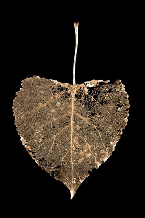 Skeletonized leaf linden with pronounced veins covered with gold paint on black background