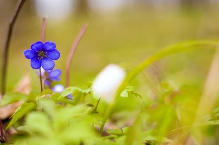 liverwort: One blue flower hepatica in the woods