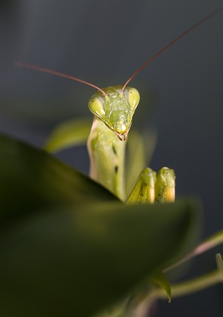 Photos mantis, predatory insects, in the macro at high magnification