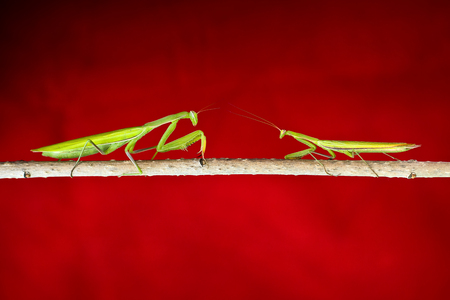 entomology: Photos mantis, predatory insects, in the macro at high magnification