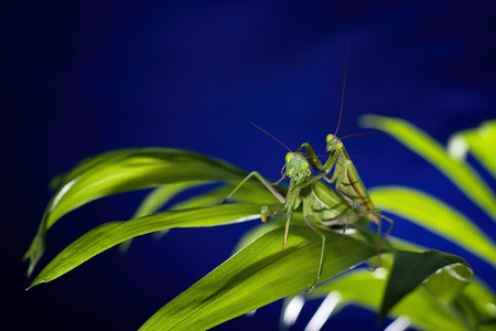 predatory insect: Photos mantis, predatory insects, in the macro at high magnification