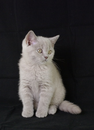 Kitten  British Shorthair Stock Photo - 12920653