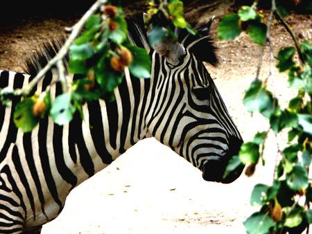 beautiful bangs: African Zebra hid his head in the shadow