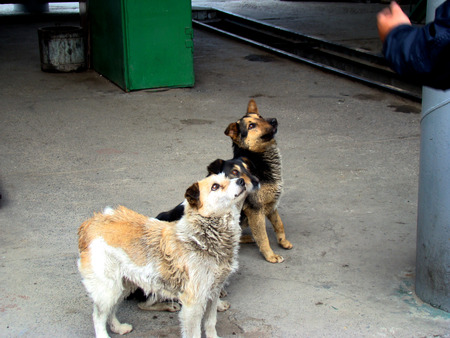 beggars: a pack of stray street dog asking for food near the bus Stock Photo