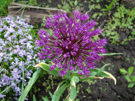 herbaceous: star of Persia purple flower is a herbaceous perennial plant