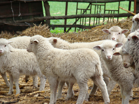 throughout: sheep source of meat and woolpicky animal spread throughout Europe