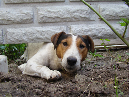 beagle terrier: a kind of smoothhaired Fox Terrier.the dog is trying to crawl under the fence. Stock Photo