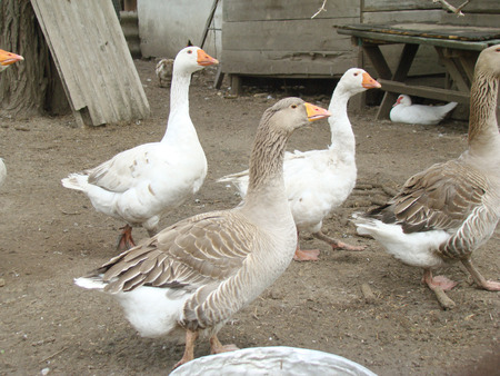 webbed: geese,waterfowl poultry,humans bred geese for meat.