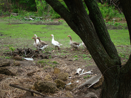 webbed feet: geese,waterfowl poultry,humans bred geese for meat.
