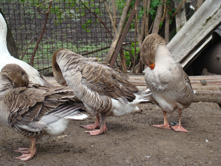 bred: geese,waterfowl poultry,humans bred geese for meat.