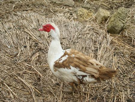 muscovy duck: Muscovy duck mute or duckcommon type pet birds Stock Photo