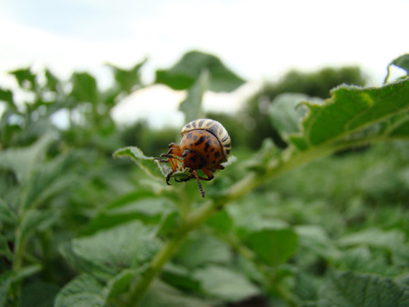 arthropods: Colorado potato beetle is sitting but the leaves of the potato beetle pest of agriculture Stock Photo