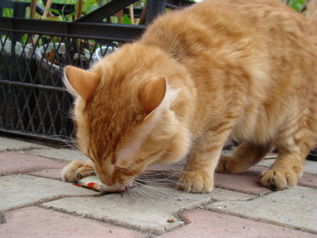 the anticipation: ginger cat holding fish teeth in anticipation of food Stock Photo