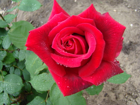 speckles: rose red color with white speckles,noble flower wild rose Stock Photo