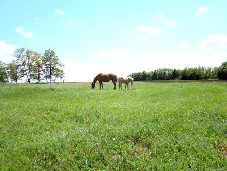 eukaryotic: a horse grazing in the meadow,busy with the process of eating the lush grass. Stock Photo