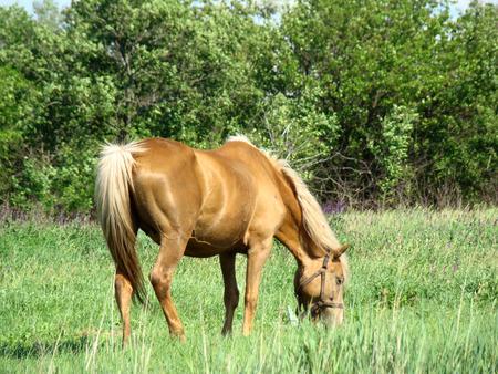緑豊かな草を食べるプロセスで忙しい、草原の中の馬の放牧します。