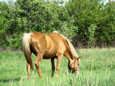 mammalian: a horse grazing in the meadow,busy with the process of eating the lush grass. Stock Photo
