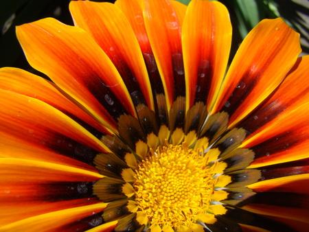 drought    resistant plant: gazania,solar flower,drought resistant plant that will decorate any flower bed