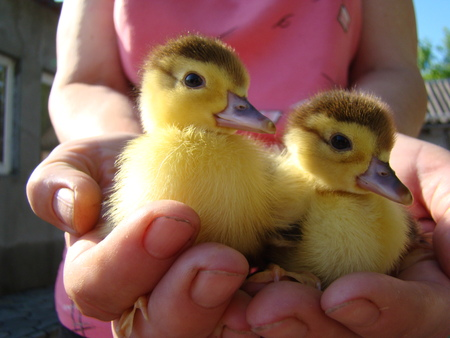 ephemeral: little ducklings sitting on your hands,the ducks sipani