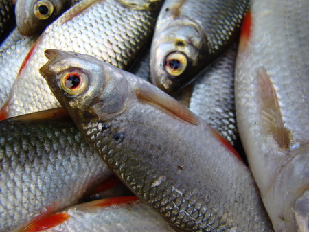 roach: roach ordinary,a genus of ray-finned fishes.unpeeled fish Stock Photo