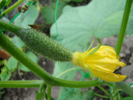 cucurbitaceae: cucumber vegetable growing in the garden,belongs to the family Cucurbitaceae