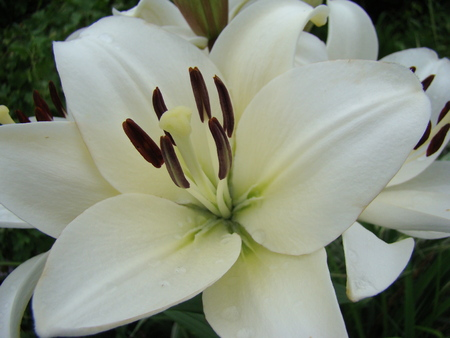 floristry: Lily white growing in nature blooms in summer Stock Photo