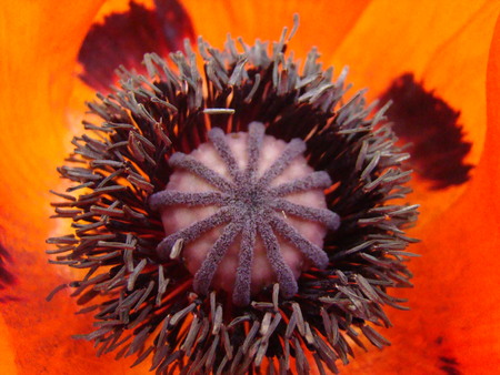 soporific: flower poppy red, a genus of herbaceous plants of the Poppy family