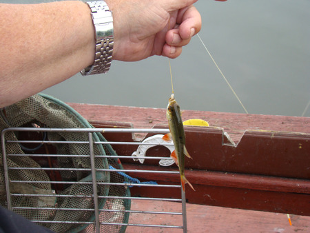 cyprinidae: fish caught in the river at the bait hangs on a hook,fishing