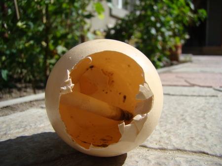egg carlopa in which put a cigarette butt from the cigarette.ashtray.