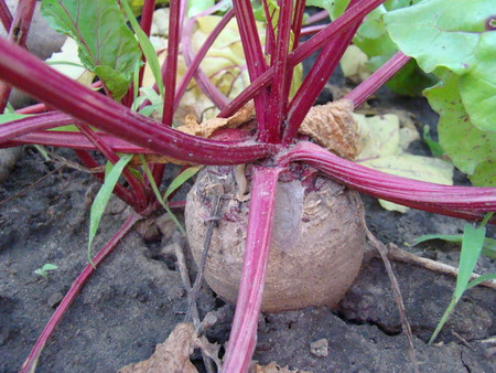 perennial: beta vulgaris,is a perennial herbaceous plant,sugar beet, Stock Photo