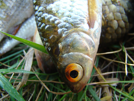 cyprinidae: caught fish,different fish crucian carp and roach belong to the family Cyprinidae.