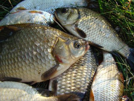 crucian carp: caught fish,different fish crucian carp and roach belong to the family Cyprinidae.